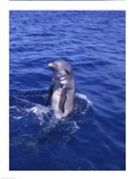 Bottle-Nosed Dolphin Swimming Backwards - various sizes