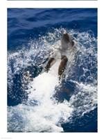 Bottle-Nosed Dolphin Splashing in the Ocean - various sizes