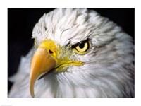 Close-up of a Bald eagle (Haliaeetus leucocephalus) - various sizes