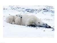Polar bear with Cub, Cape Churchill, Manitoba, Canada Fine Art Print