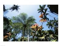 Low angle view of palm trees, Hawaii Tropical Botanical Garden, Hawaii, USA - various sizes