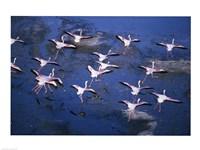 Lesser Flamingos - various sizes