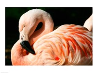 Close-up of a Sleeping Flamingo Fine Art Print