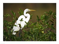 Close-up of a Great Egret Perching on a Branch Fine Art Print