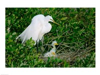 Great Egrets - various sizes