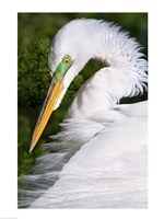 Great Egret - up close - various sizes