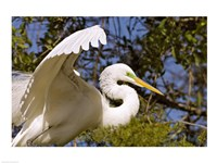 Great Egret - open wings - various sizes
