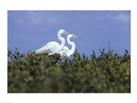 Great Egret - two walking - various sizes