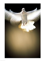 White Dove in flight Fine Art Print