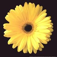 Gerbera Diasy Yellow Fine Art Print