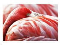 Flamingo Resting - various sizes - $29.99