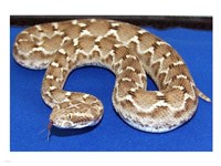 Saw Scaled Viper - various sizes