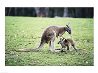 Red Kangaroos Fine Art Print