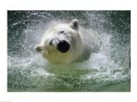 Polar Bear - swimming Fine Art Print