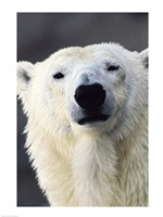 Polar Bear Photo Fine Art Print