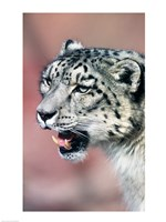 Close up of Snow Leopard - various sizes
