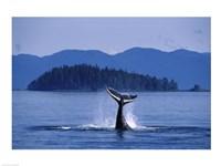 Humpback Whale Diving Fine Art Print