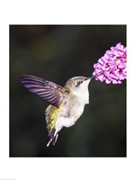 Hummingbird - various sizes