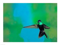 Magnificent Hummingbird in Flight Arizona USA