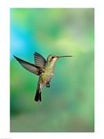 Close-up of a Broad-Billed hummingbird, Arizona, USA Fine Art Print