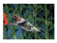 Anna's hummingbird pollinating a flower - various sizes - $29.99