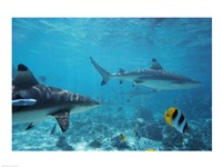 Sharks swimming in the sea - various sizes - $29.99
