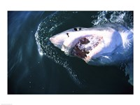 Great White Shark Eating Fine Art Print