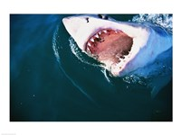 Great White Shark Biting Fine Art Print