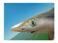 Close-up of an Atlantic Sharpnose Shark, Gulf Of Mexico, Florida, USA - various sizes