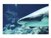 Caribbean Reef Shark Up Close - various sizes, FulcrumGallery.com brand