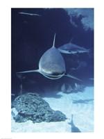 Caribbean Reef Sharks Fine Art Print