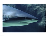 Close-up of a Caribbean Reef Shark in the sea - various sizes