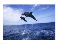 Bottle-Nosed Dolphins Sailing Above the Water Fine Art Print