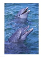 Bottle-Nosed Dolphins Calling Out Together - various sizes