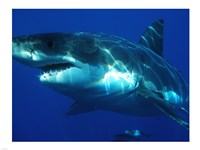 Greatwhite Framed Print