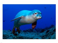 Monk Seal - various sizes