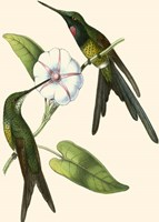 Delicate Hummingbird III Fine Art Print