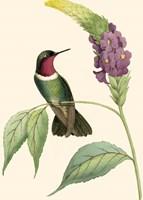 Delicate Hummingbird IV Fine Art Print