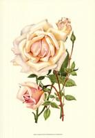Victorian Rose III Fine Art Print