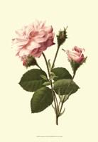 Victorian Rose II Framed Print
