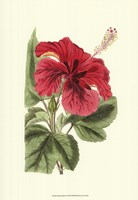 Antique Hibiscus I Fine Art Print