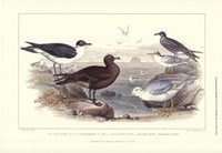 Gulls & Terns Framed Print