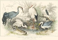 Herons, Egrets and Cranes Framed Print