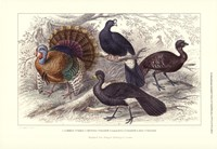 Turkey & Curassows Framed Print