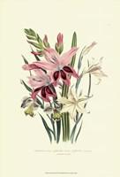 Lily Garden II Fine Art Print