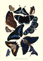 """Blue Butterfly Study by Vision Studio - 13"""" x 19"""""""