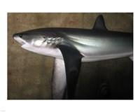 Thresher Shark - various sizes