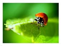 Anderson Mancini Ladybug - various sizes