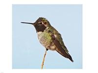 Anna's Hummingbird - various sizes - $29.99