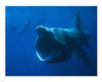 Basking Shark - various sizes
